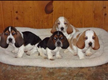 Basset Hound Pedigree Puppies For Rehoming