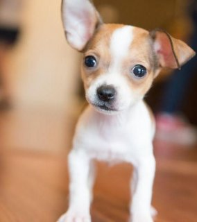 TEACUP CHIHUAHUA PUPPY AVAILABLE TODAY!