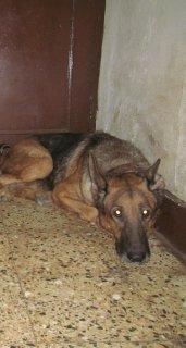 كلبة جيرمن سنة وثمانية اشهور انجبت مرتين