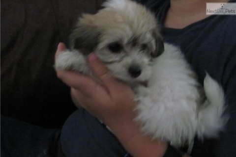 Havanese Looking For New Home
