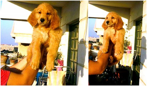 GOLDEN Puppies جولدن ريتريفر