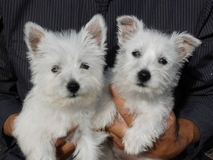 2 Adorable West Highland White Puppies Available Now3