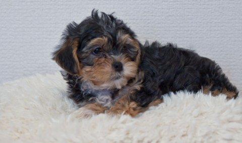 2 Cute Cross Yorkie Maltischon Puppies Cross Maltischon For Re-