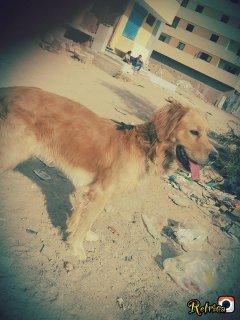 كلب جولدن ريتريفر للبيع بسبب عدم التفرغ