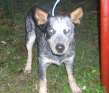 Australian Cattle Dog/Blue Heeler For Adoption