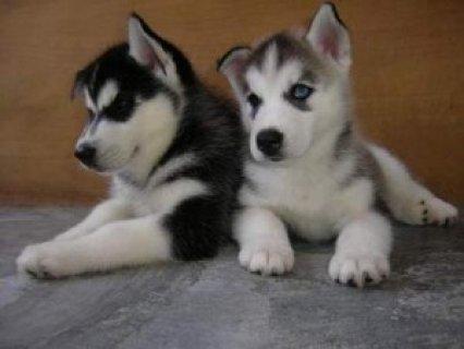 Lovely Blue Eyes Siberian Husky Puppies
