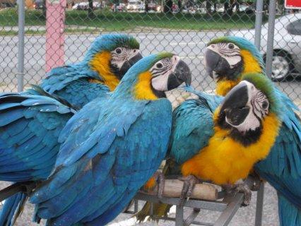 Macaws,Parrots,cockatoos and Fertile eggs + incubators
