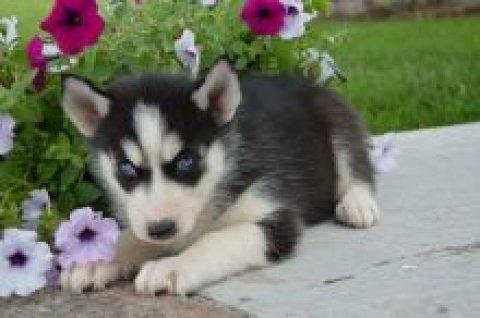 3 Excellent Siberian Husky Puppies