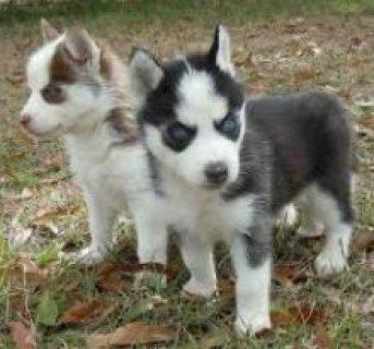 12 AKC Registered Siberian Husky pups