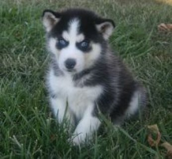 cute siberian husky puppies ready now