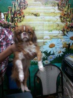 للبيع كلبة بيكنواة بيور