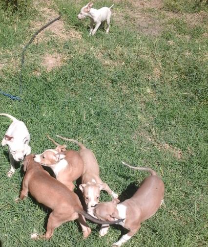 Pitpull Dogs for sale..جراوي بيتبول للبيع السعر مغري لدواعي السف