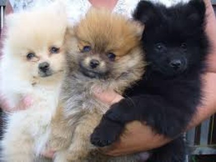 exclusive puppies for adoption