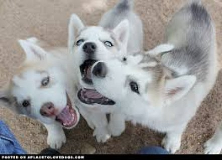 serbian husky for adoption