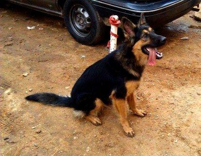 للبيع كلبة بلجيكي بيور بسعر خرافي