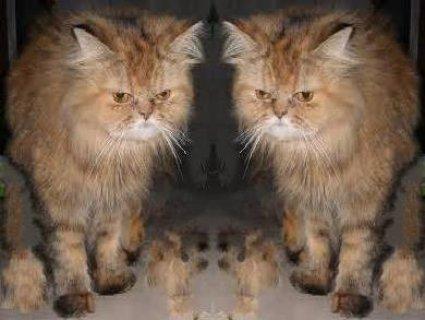 قطه هيمالايا جولد هاف بيكى شيرازى
