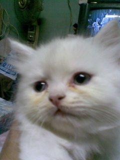 قط شيرازي ولد ابيض متربي 55 يوم