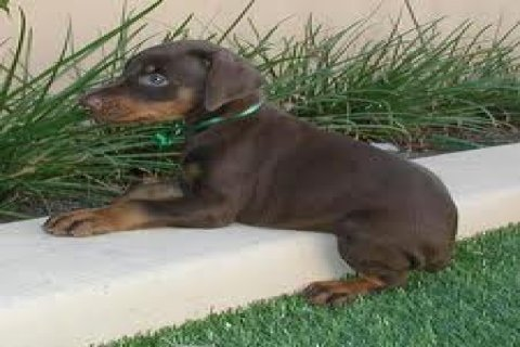 Loyal Doberman Pinscher Puppies