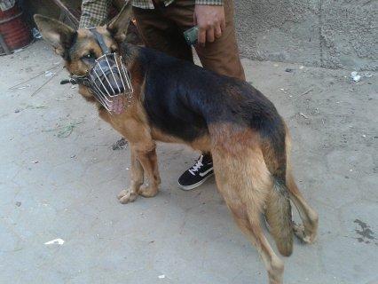 كلب جيرمن شيبرد شرس جدا