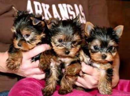 Yorkshire Terrier puppies ready for adoption into loving homes