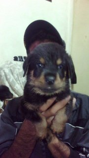 Puppys rottwiler for sale king siz