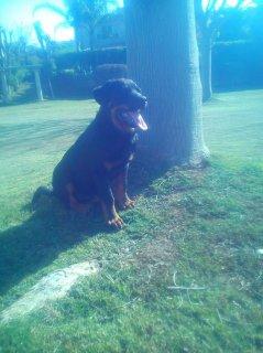 كلب روت وايلر للبيع بسعر جرو!