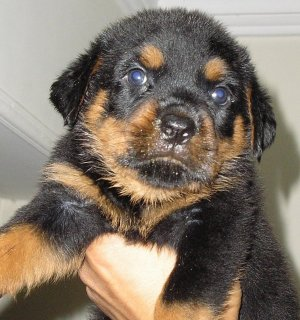 صور Champion Rottweiler Puppies 42 Days 1
