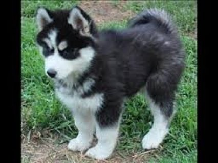 Gorgeous And Charming Siberian Husky Puppies For Sweet Homes