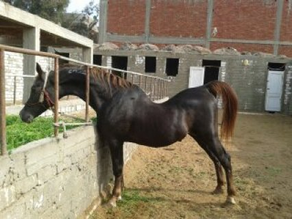 حصان عربى اصيل صاحب نسب عالى صقلاوى
