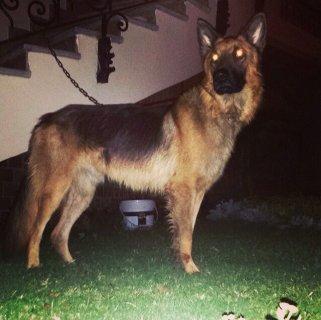كلب جيرمان شيبرد من الخارج