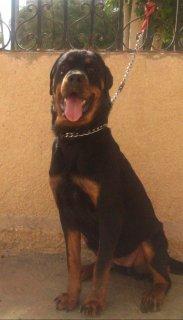 Female Rottweiler 10 months