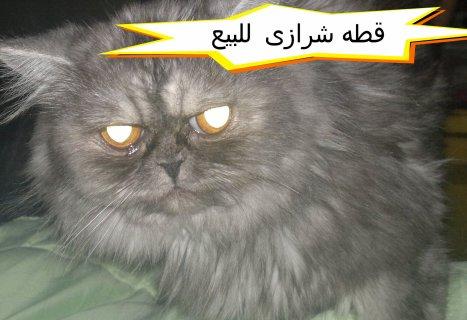 قطه شرازى للبيع