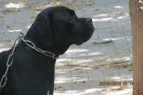puppies cane corso for sale