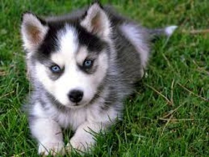 sweet siberian husky puppy