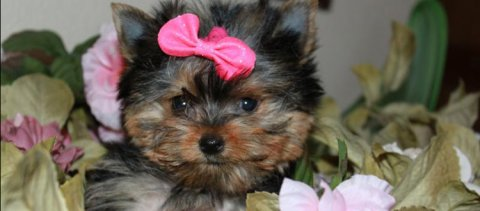 Beautiful Teacup Yorkie Puppies Available For Xmas