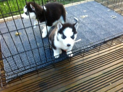 Marvelous Siberian Husky Puppies For XMas Gift Families