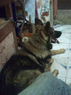 كلب جرمن شيبرد لونج هير شرس شراسه الدئلاب