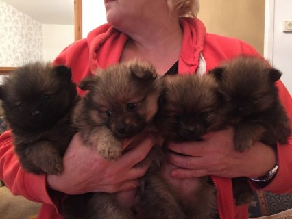 Gorgeous Pomeranian Puppies Available For Xmas