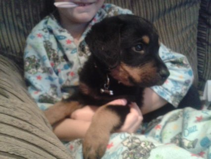 Xmas Baby Rottweiler puppies Available