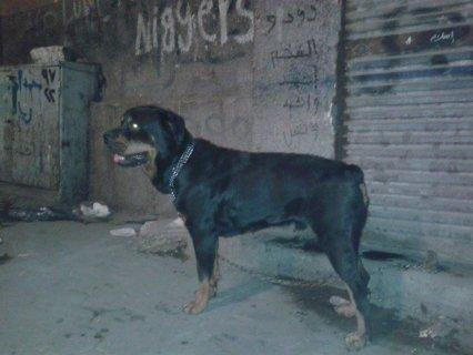 كلب رود فيلر امريكي موصفات عالمية