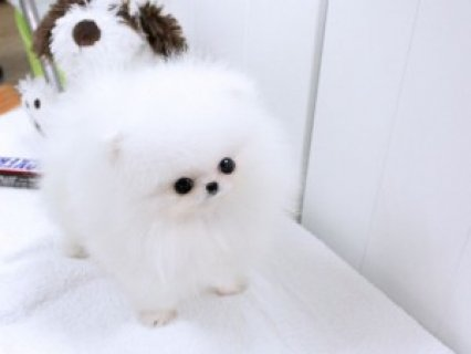 Affectionate Teacup Pomeranian Puppies! Contact