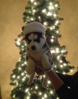 Female White Siberian Husky Puppies For Sale