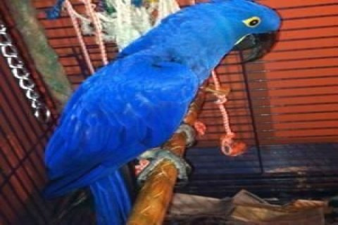Hyacinth Macaw for Adoption>>>>>>>>>>>>