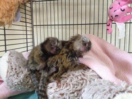 Geoffrey marmosets
