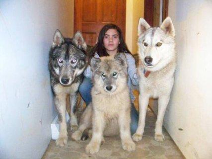 Wolf hybrids pups