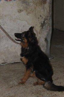 كلب جيرمن شيبرد - ذكر 9 شهور
