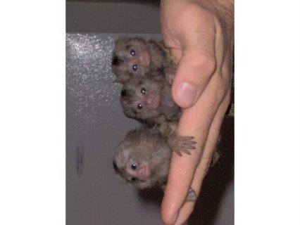 marmoset /capuchin monkeys