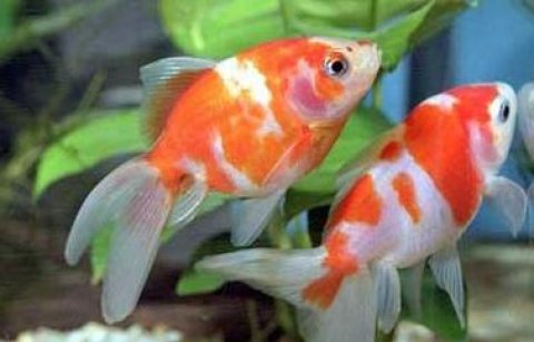 صور Ornamental fish  1