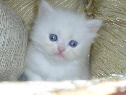 قطط شيرازي بيور للبيع والحجز حتى الفطام 2014