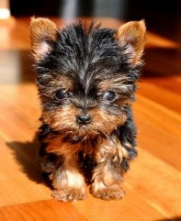 Gorgeous Yorkie for sale
